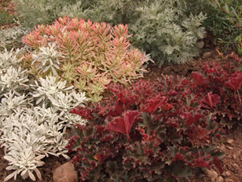 A combination of Artemesia 'Powis Castle' & 'Silver Brocade' with Euphorbia 'First Blush' & Heuchera 'Crimson Curls'