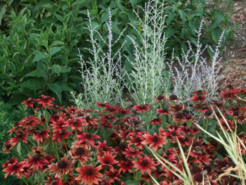 'Little Spire' Russian Sage with 'Cherry Brandy' Rudbeckia